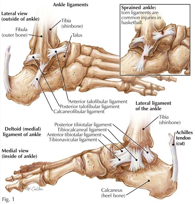 Ligaments Of The Foot Anatomy Images Human Body Anatomy